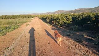 Morgonpromenad med Apelsinblomshund