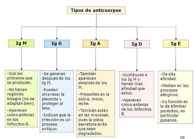 Aprende de una manera fácil las inmunoglobulinas y sus caracteristicas