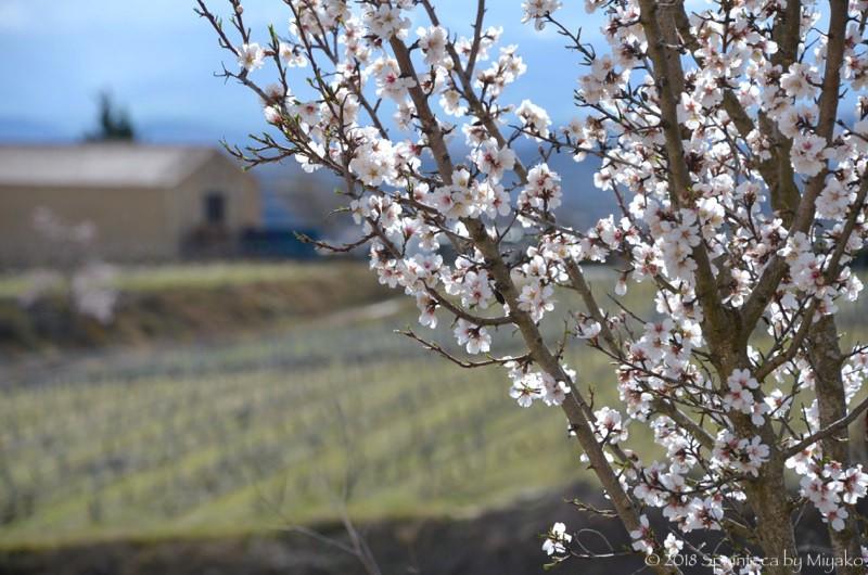 北スペイン・リオハ春の葡萄畑に咲くアーモンドの花