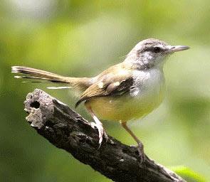 burung perenjak www.burung45.blogspot.com