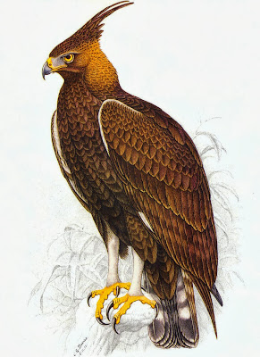 Long crested Eagle