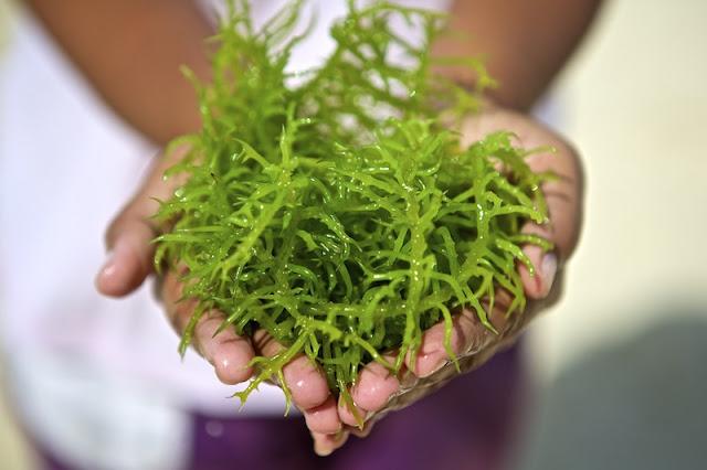 Rumput Laut Menangkal Kanker Payudara