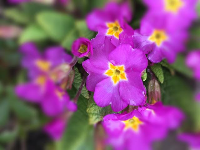 Primeln lila