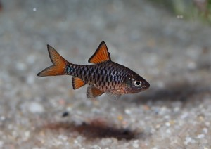 Checker barb 5cm