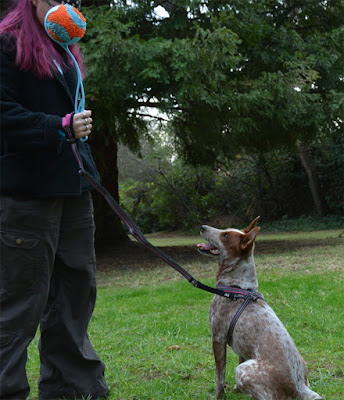 Red heeler with Hurtta jogging leash