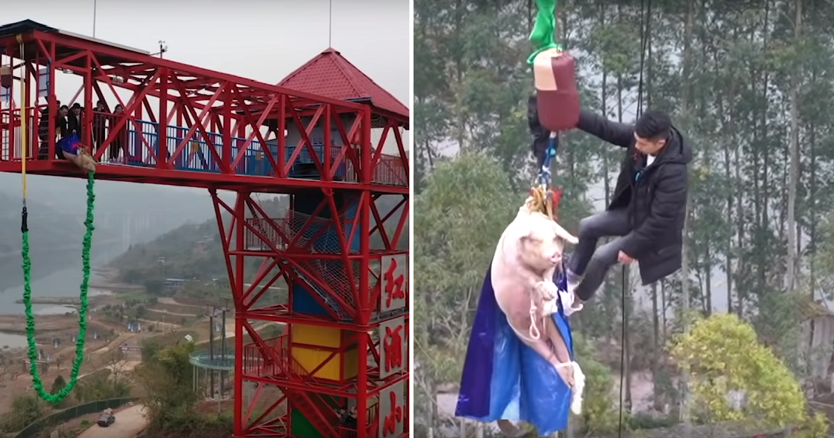 Chinese Theme Park Made A Pig Bungee Jump And Received Heavy Criticism