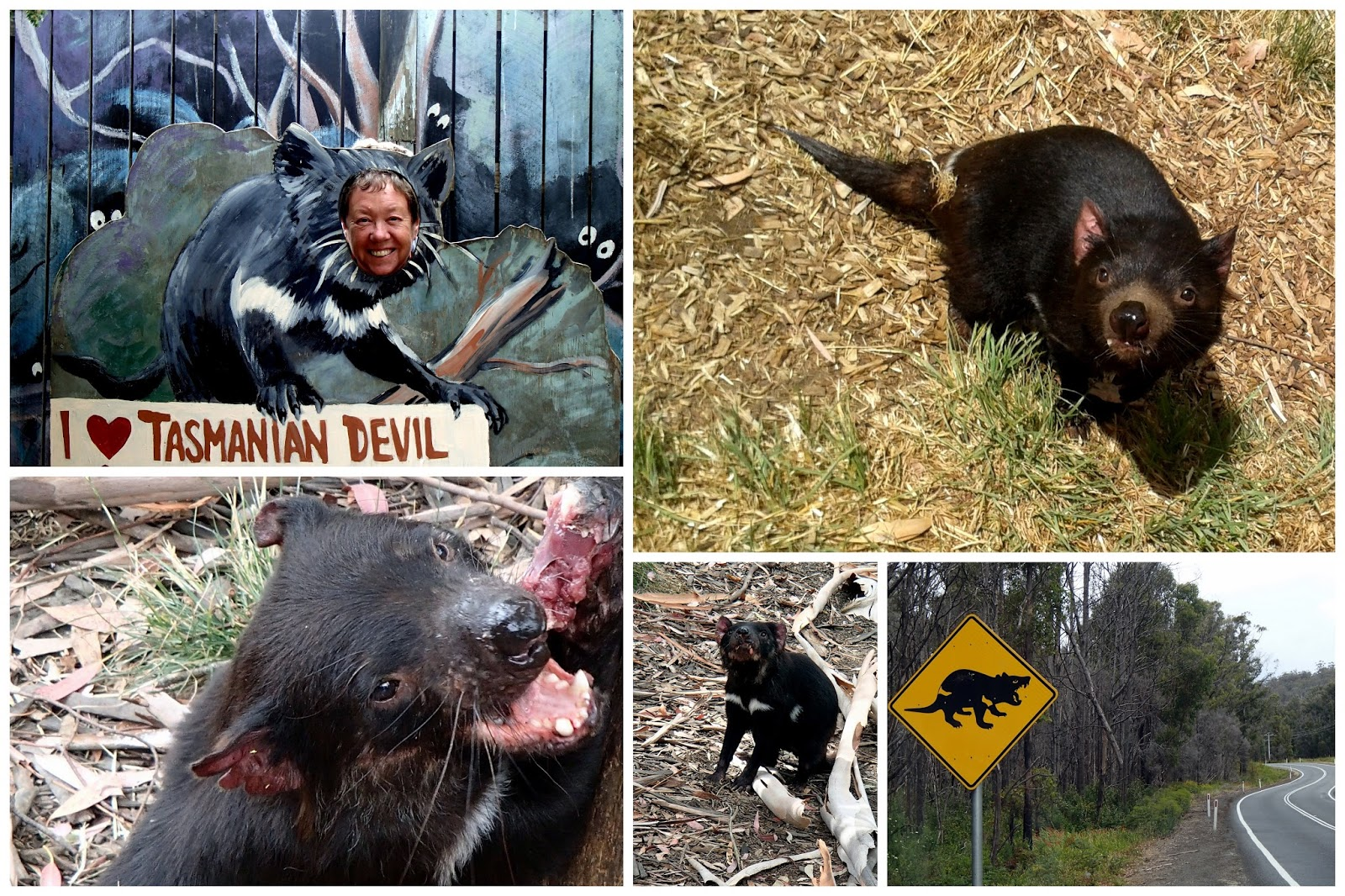 A Day In The Life Tasmanian Devils