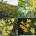 Lá ngón  - Yellow jasmine