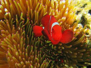 ikan nemo pulau menjangan