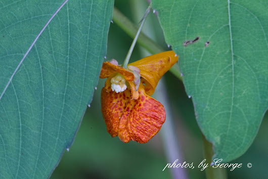 Jewelweed, Orange Jewelweed, Spotted Touch-Me-Not (Impatiens capensis)