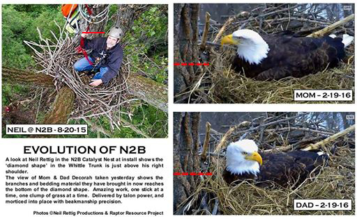 Image of N2B showing how far the nest has been built up since August