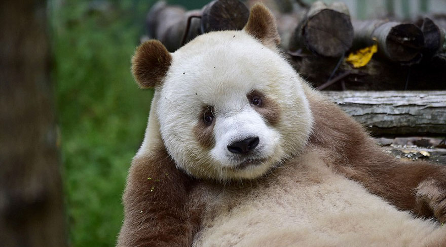 The World's Only Brown Panda Who Was Abandoned As A Baby, Finally Finds Happiness - The sad days are over, and now the brown panda is thriving and becoming a celebrity of the animal world!