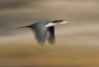 White-Breasted Cormorant in flight - Slow Shutter Speed Abstract Cape Town