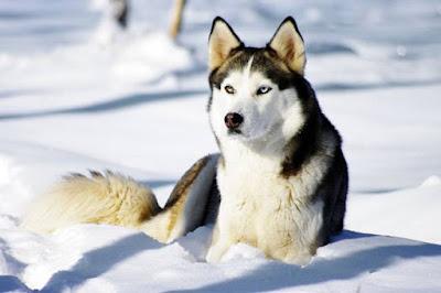 dac diem ben ngoai cua cho husky