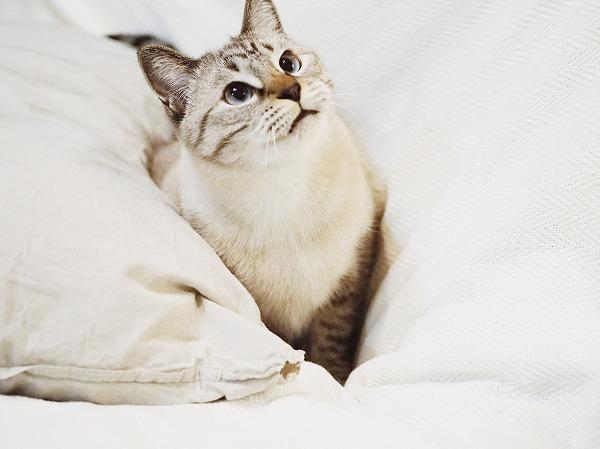 首をかしげて上を見上げるシャムトラ猫