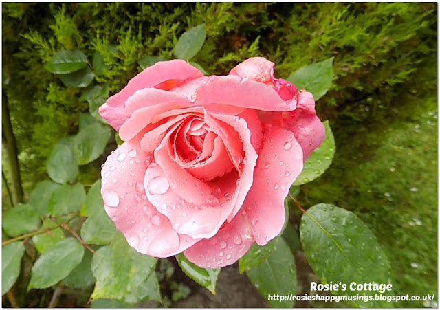 Raindrops on a perfect rose