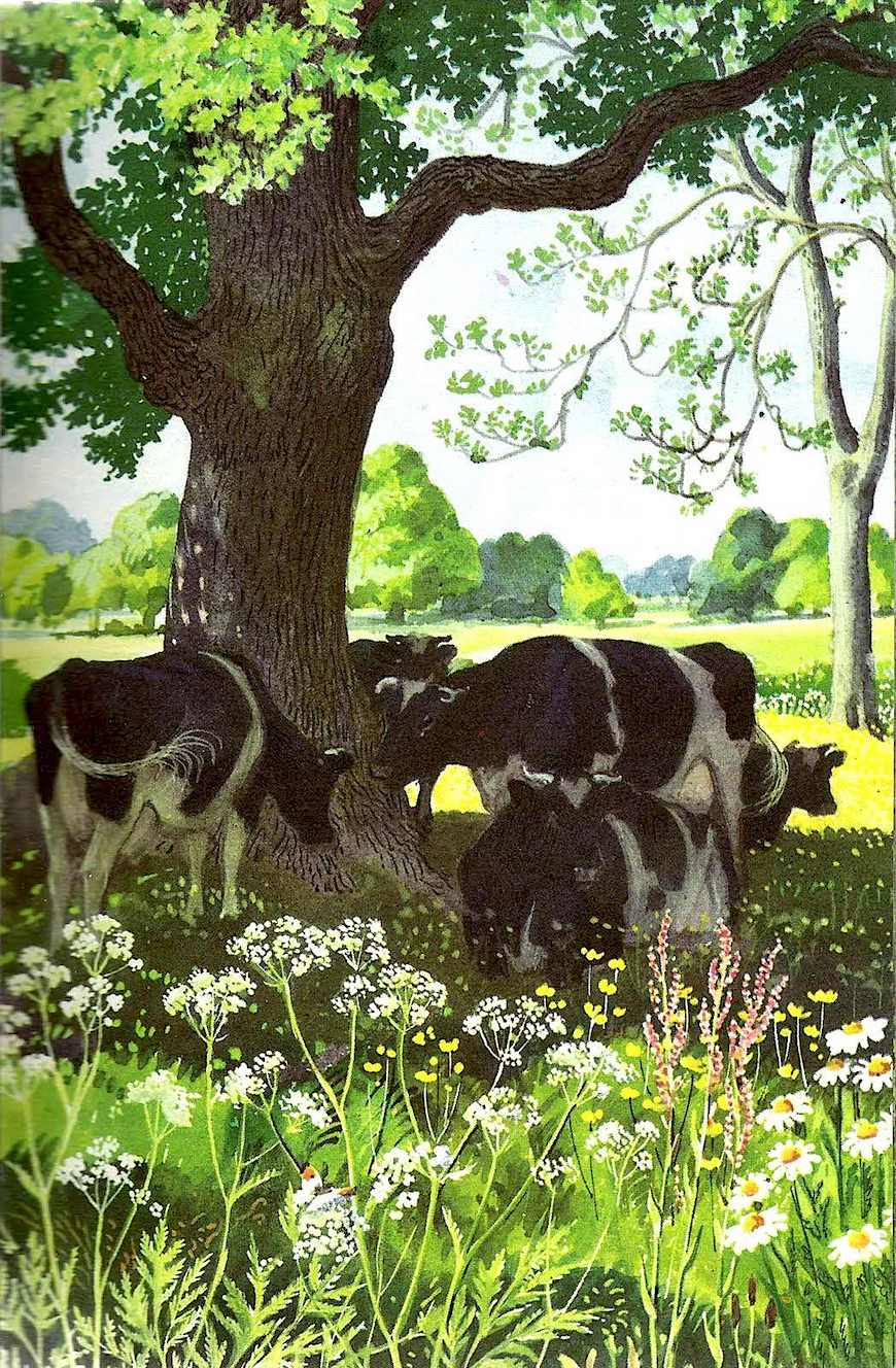 CF Tunnicliffe cows in shade