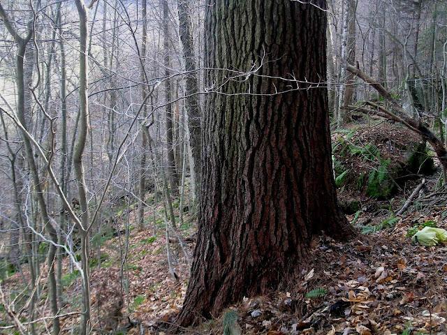 The Thoreau Pine: Massachusetts State Champion White Pine