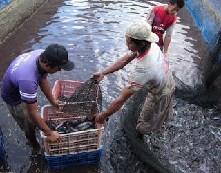 ternakan ikan keli kolam simen,ternakan ikan keli dalam tangki,kertas kerja ternakan ikan keli,ternakan ikan keli kanvas,teknik ternakan ikan keli,ternakan ikan keli organik,
