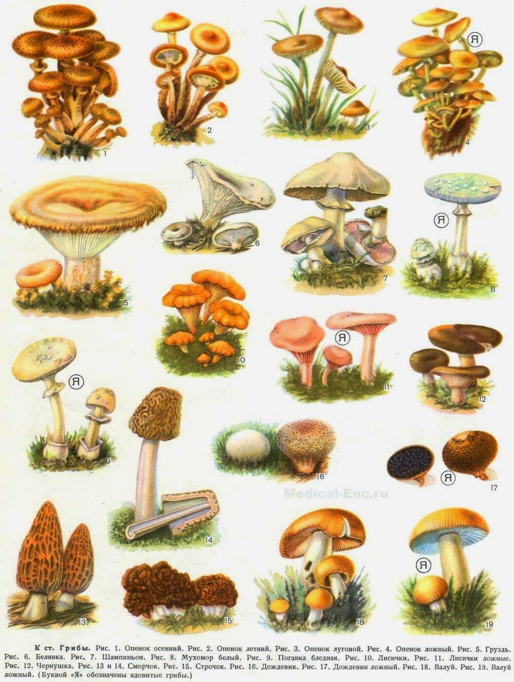 Грибы дальнего востока. Скачать справочник грибов | грибы приморья.