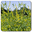 Organic Non-GMO Yellow Sweet Clover - OPEN-POLLINATED