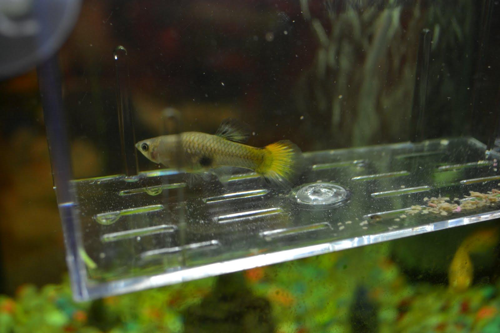 Fish Babies Birth to 20 baby ,