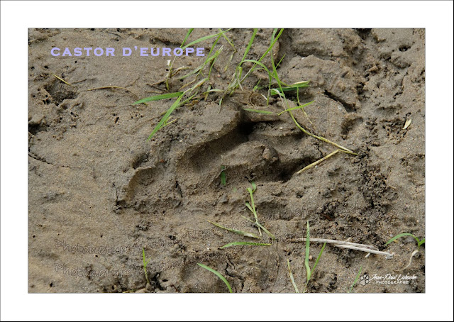 traces-bords-de-loire-castor