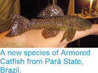 http://sciencythoughts.blogspot.co.uk/2014/05/a-new-species-of-armored-catfish-from.html