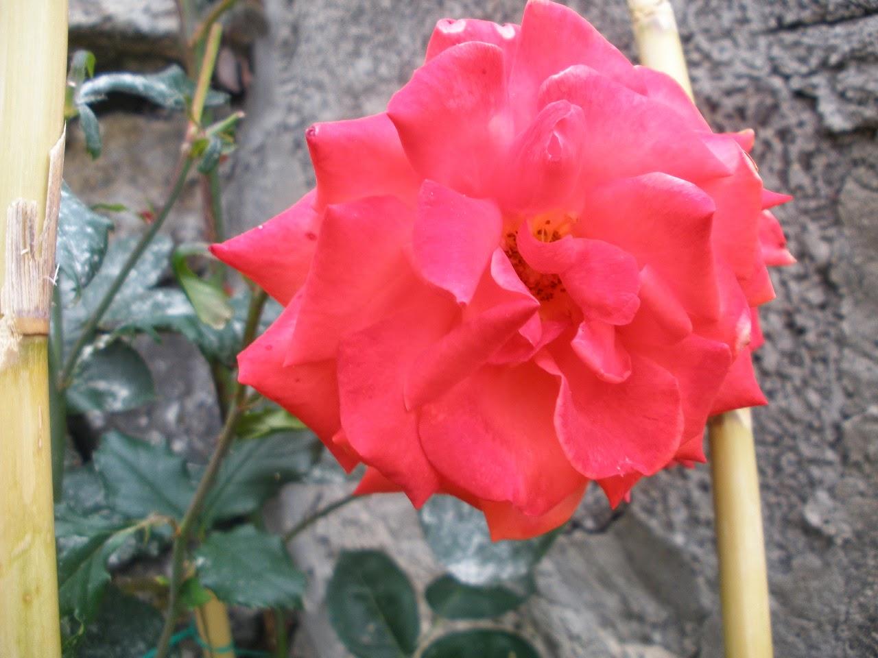 Lenguaje de las flores hoy frases lo maravilloso del - Plantas de frio y calor ...