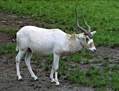 Addax - Animals Starting With Letter A