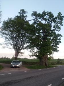 Два посвећена дрвета: BRANKA VEDDER