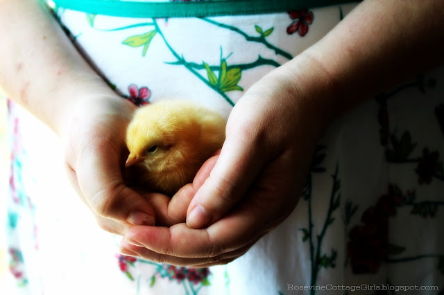 #Chickens #chicks #caringforchicks #farm #hobbyfarm #farmlife #farmlifestyle