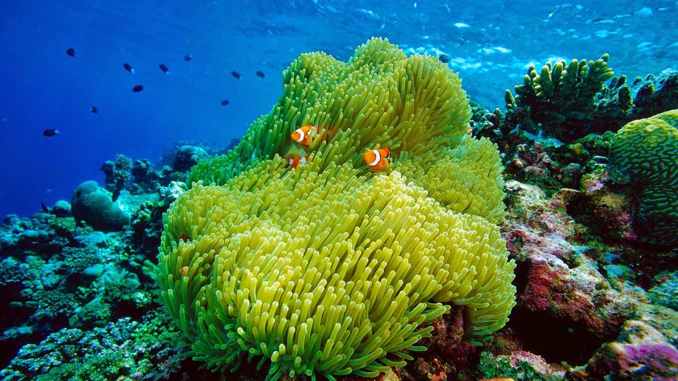 Clownfish And Sea Anemone Wallpaper