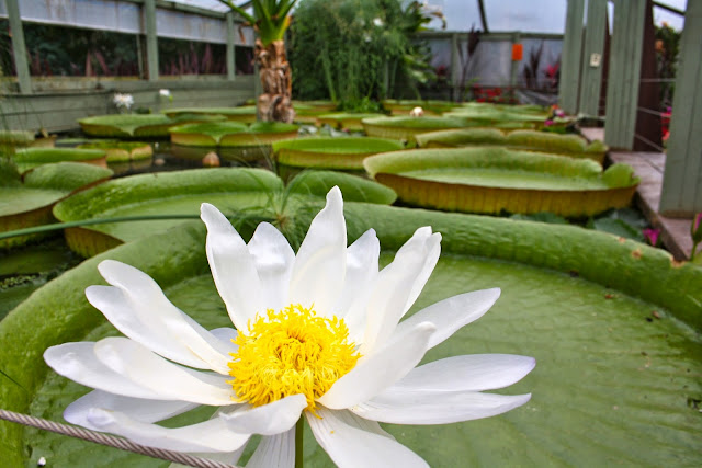 Blue Lotus Water Garden