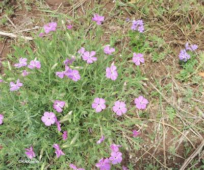 wild phlox, New Mexico
