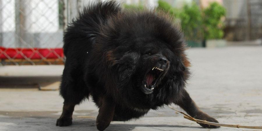 Tibetan Dog Names