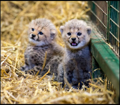 These cheetah cubs will brighten your day