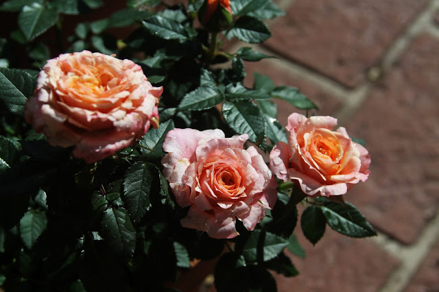 miniature roses, roses, peach roses, gardens, Anne Butera, My Giant Strawberry