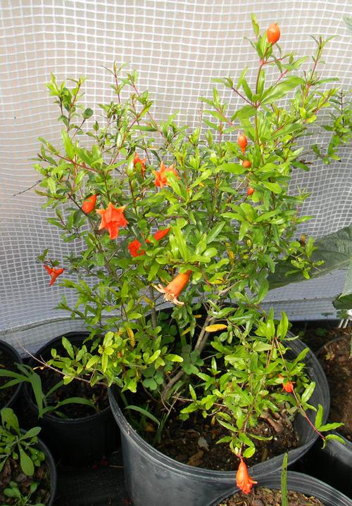 citrus plants per acre india