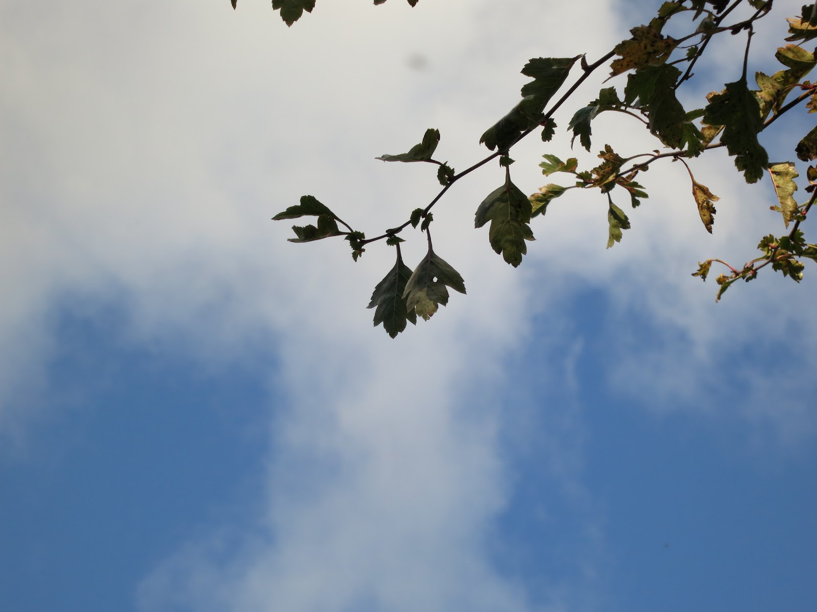 Hawthorn leaves against a blue sky with light, white clouds