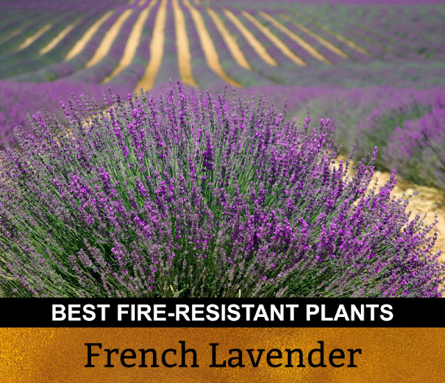 Best Fire Resistant Plants French Lavender
