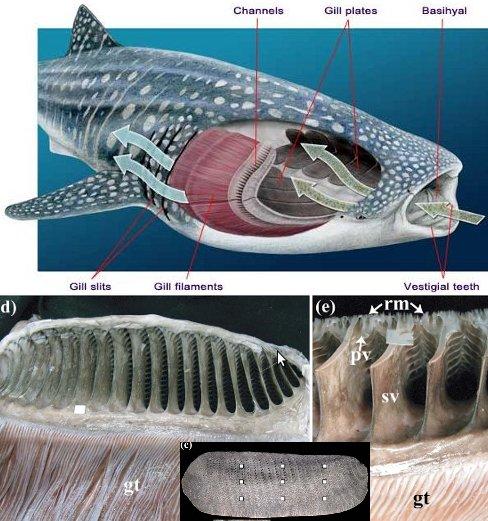 Tiburones en Galicia: Devoradores de plancton