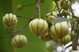 The Earth Of India All About Garcinia Cambogia Fruit