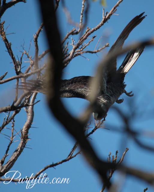 white tale black cockatoo