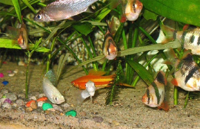 Ikan Hias Galak Dan Ikan Lain Dalam Satu Akuarium