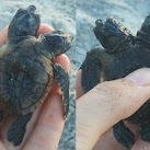 Rare Two-Headed Sea Turtle Discovered On Florida Space Coast