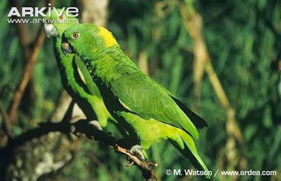 Amazona nuca amarilla: Amazona auropalliata
