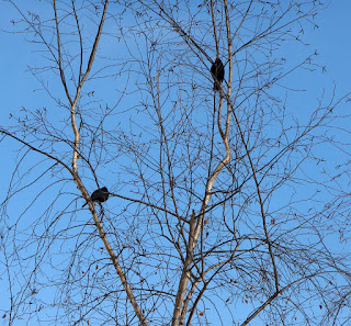 Blackbirds outside while we eat our dinner