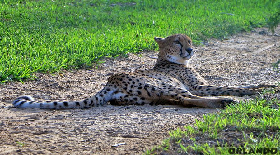 Cheetah, Cheetah Run, Busch Gardens Tampa, Tampa Bay