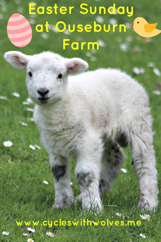 ouseburn farm easter lambs chicks